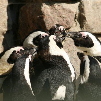 20 stycznia Dzień Wiedzy o Pingwinach