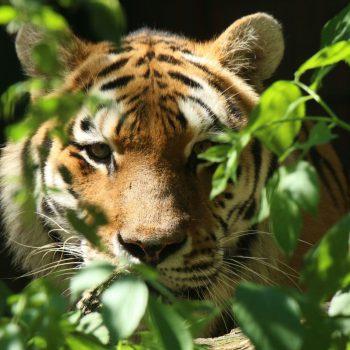 Dziś święto największego kota świata – tygrysa