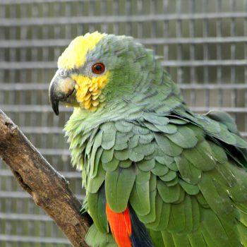 Amazonka kurika