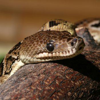 Czy węże mogą być ciekawskie?