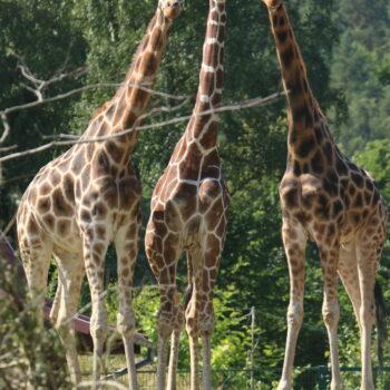 Światowy Dzień Żyrafy