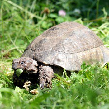 Żółw peloponeski
