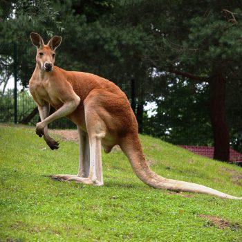 Kangur rudy
