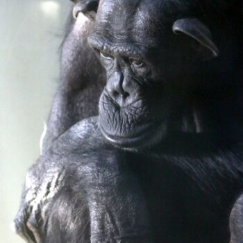 Odeszła Kasia, najstarsza szympansica w stadzie