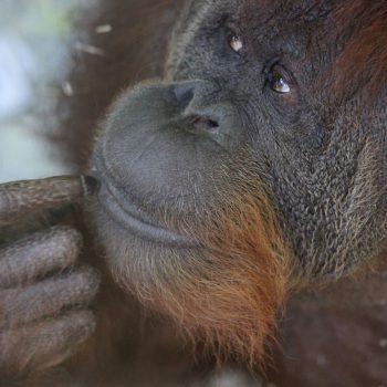 Dziś Międzynarodowy Dzień Orangutana!!!