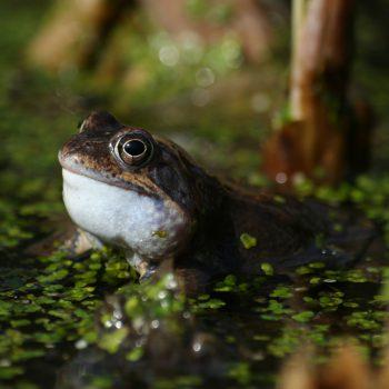 Kwiecień miesiącem żab