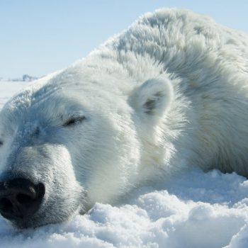 Niedźwiedzie polarne i wtyczki