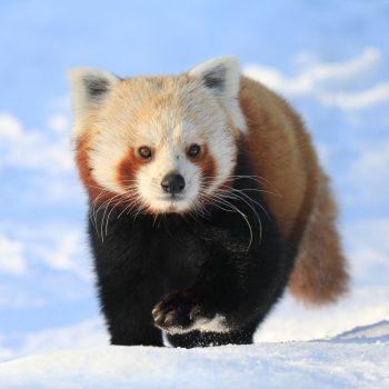 Panda mała
