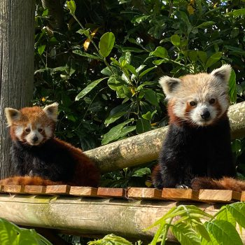 Samiec pandy małej z gdańskiego zoo pojechał do Amazon World ZOO w Wielkiej Brytanii. W zamian do Gdańska przyjechała samica!