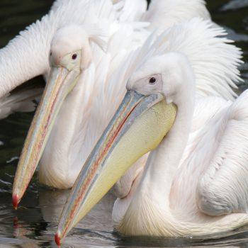 Pelikan baba