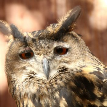 Great Eagle Owl