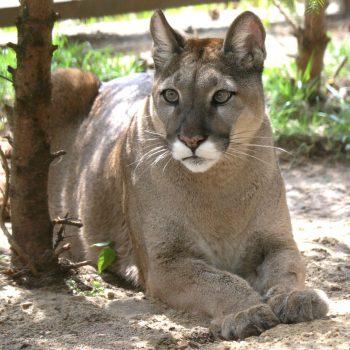 Puma niejedno ma imię