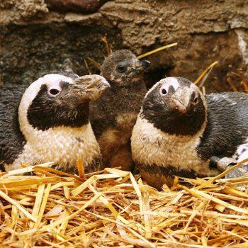Światowy Dzień Pingwina