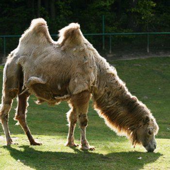 Wielbłąd dwugarbny Baktrian