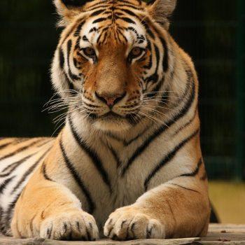 Z wizytą u tygrysów