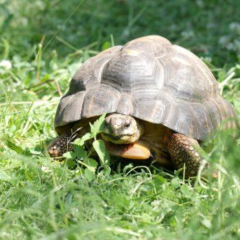 Żółw promienisty